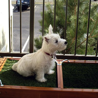 Deakon West Highland White Terrier Lakewood, CO