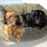 Max and Riley Longhaired Dachshunds Newport Coast, CA