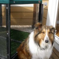 Sam Sheltie Lakewood, CO